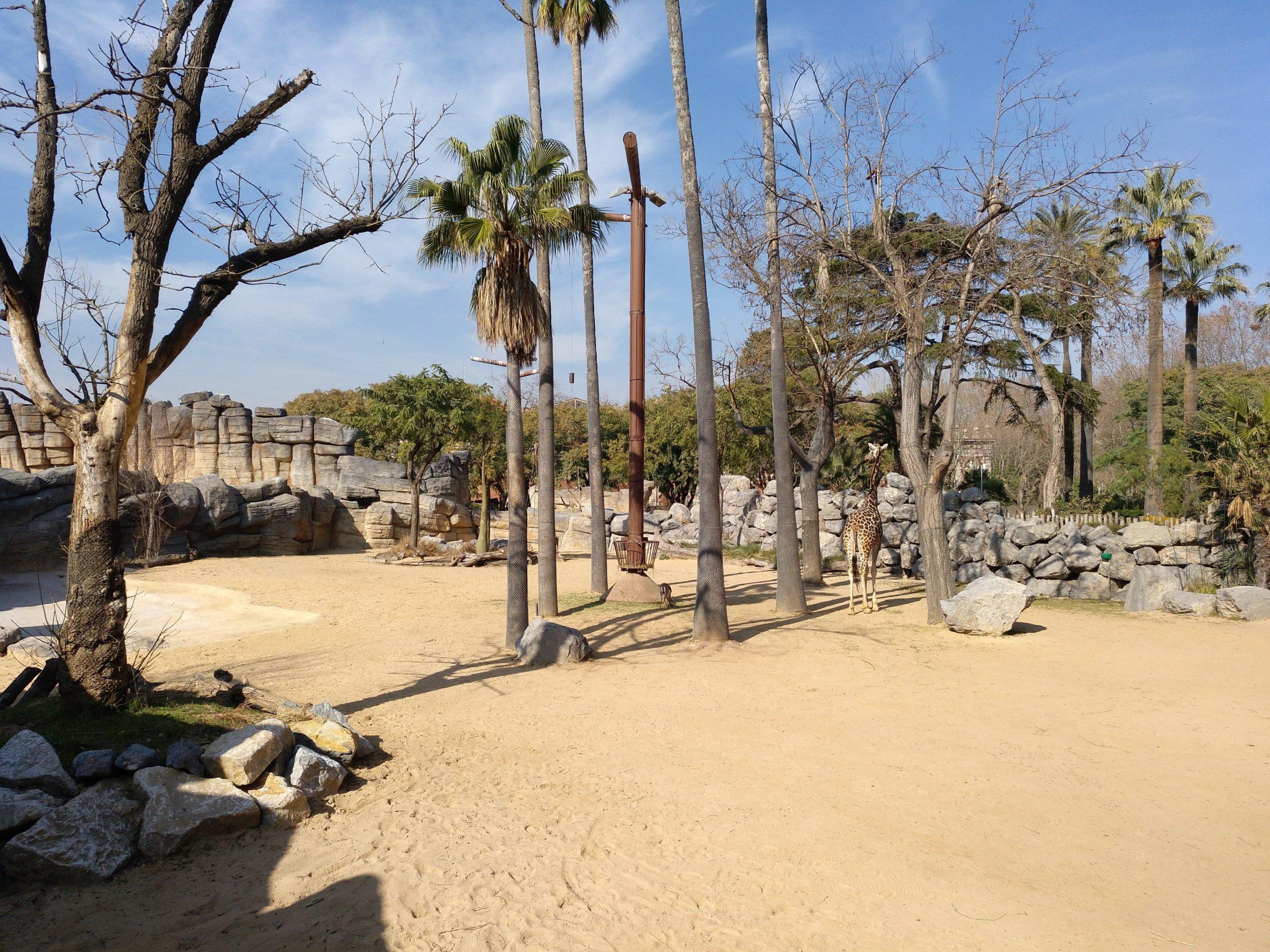 Instal·lació de les girafes, al Zoo de Barcelona / Meritxell M. Pauné