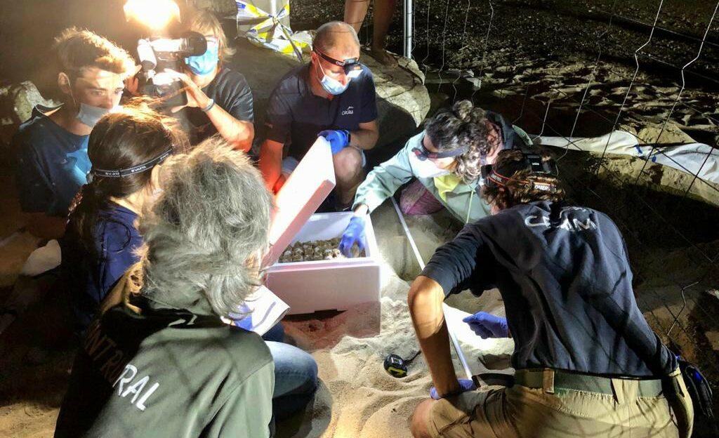 Tècnics especialistes desenterren el niu de tortuga careta trobat a Barcelona / Agents Rurals