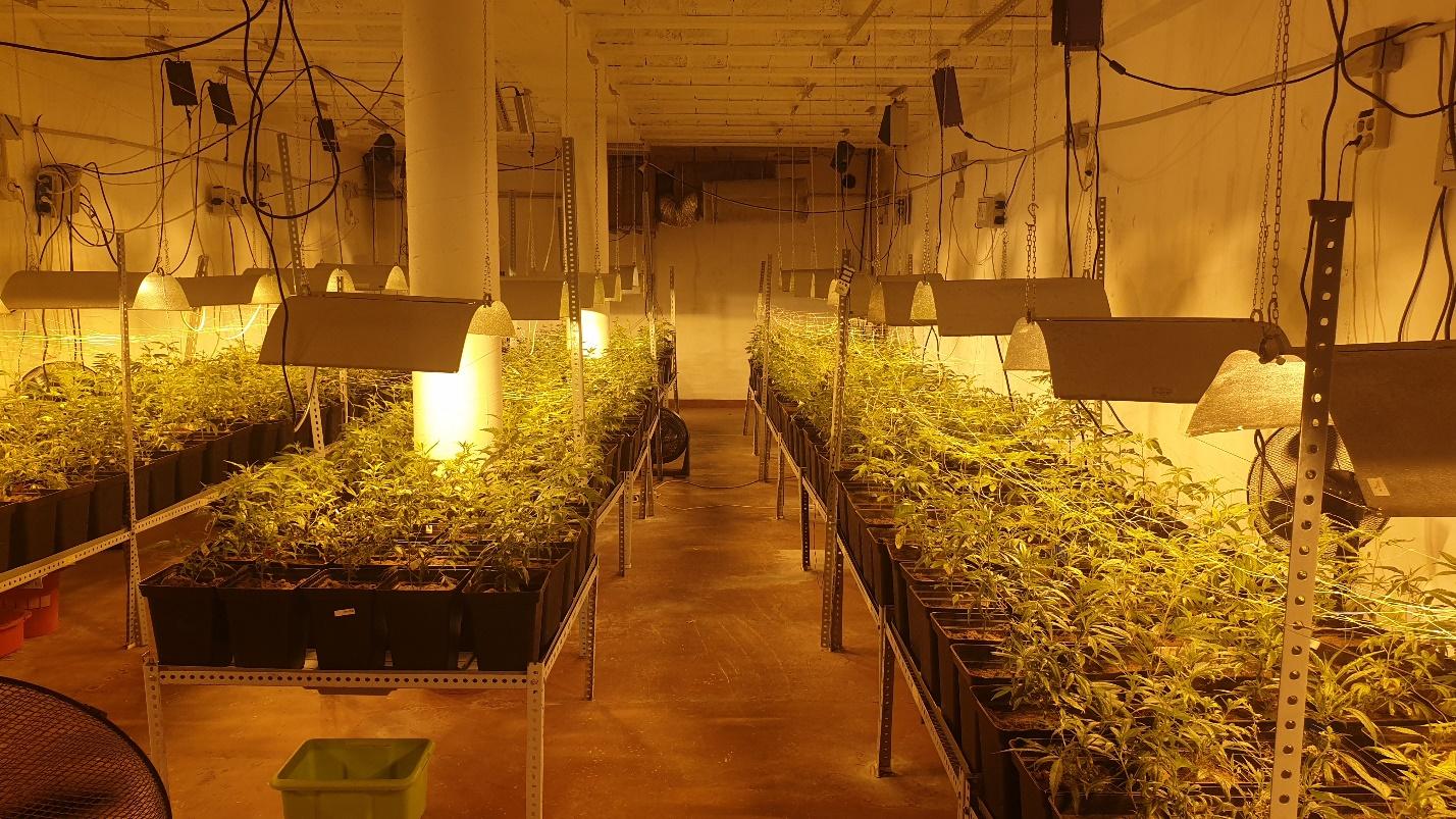 La Guàrdia Urbana ha comissat 625 plantes de marihuana a Sant Martí / GUB